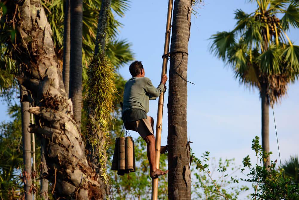 Bauer klettert auf Kokospalme in Tropengebiet