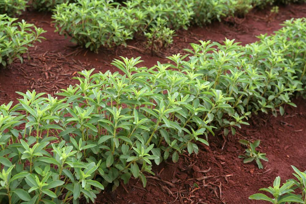 Stevia- Pflanze wächst auf dem Feld