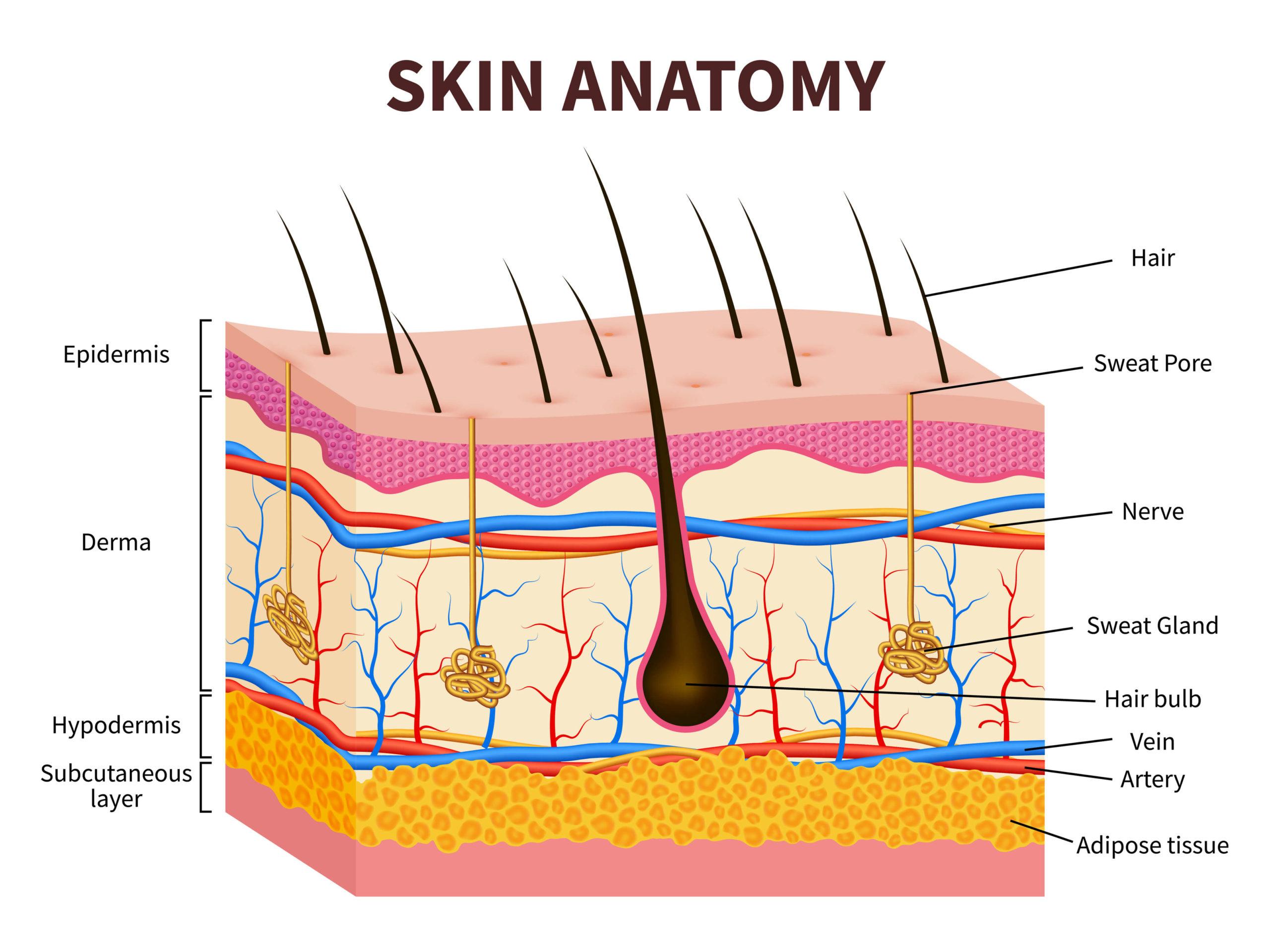 die verschiedenen Schichten der Haut